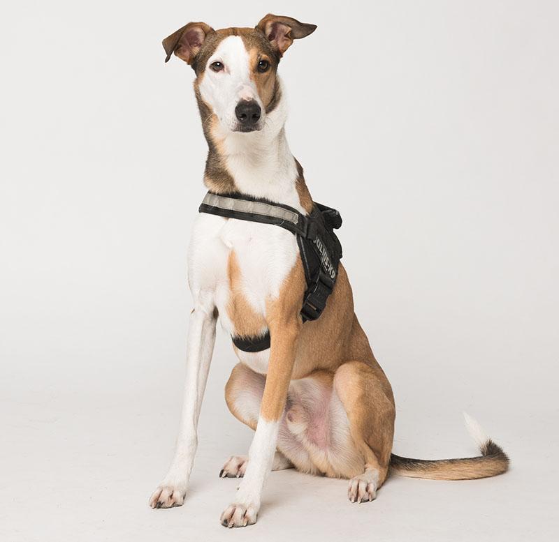 portrait Colt chien renifleur chez Eco-Flair